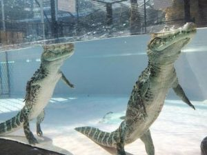 10229860-alligators_can_walk_perfectly_upright_under_water_640_03-1484632591-650-d2858d8e3e-1484941429