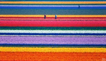 campos-tulipanes