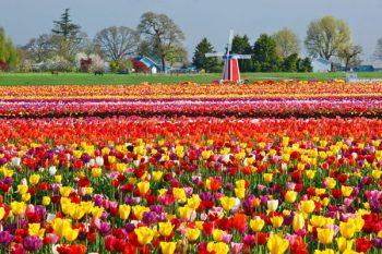 holanda-tulipanes02